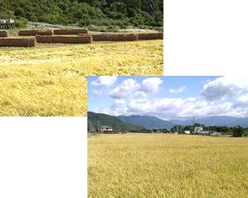 低農薬長野県上田産コシヒカリ